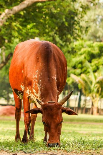 Animal Themes Mammal Standing Herbivorous Domestic Animals Vertebrate Two Animals Grass Togetherness Field Animals In The Wild Wildlife Full Length Grazing Front View Young Animal Animal Brown Livestock Zoology Internationalart Working Animals Cows In The Feilds CreativePhotographer Indian Photographer