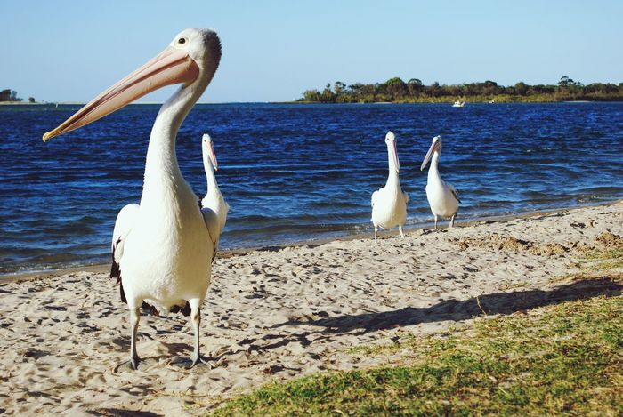 Animals In The Wild Animal Wildlife Water Bird Nature Animal Themes Outdoors Beach Lake No People Day Beauty In Nature Swan Sky Australia Noosa Noosa River