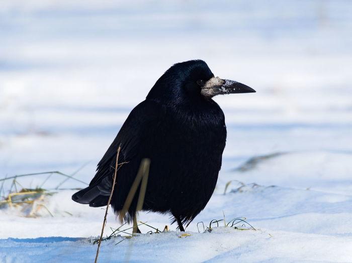 Black bird on a snow. the rook corvus frugilegus covered in snow