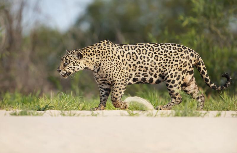Tiger walking on a land