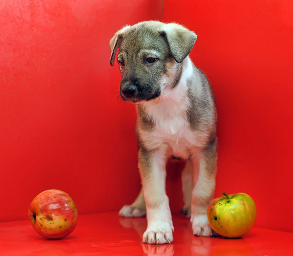 Dog sitting on red background