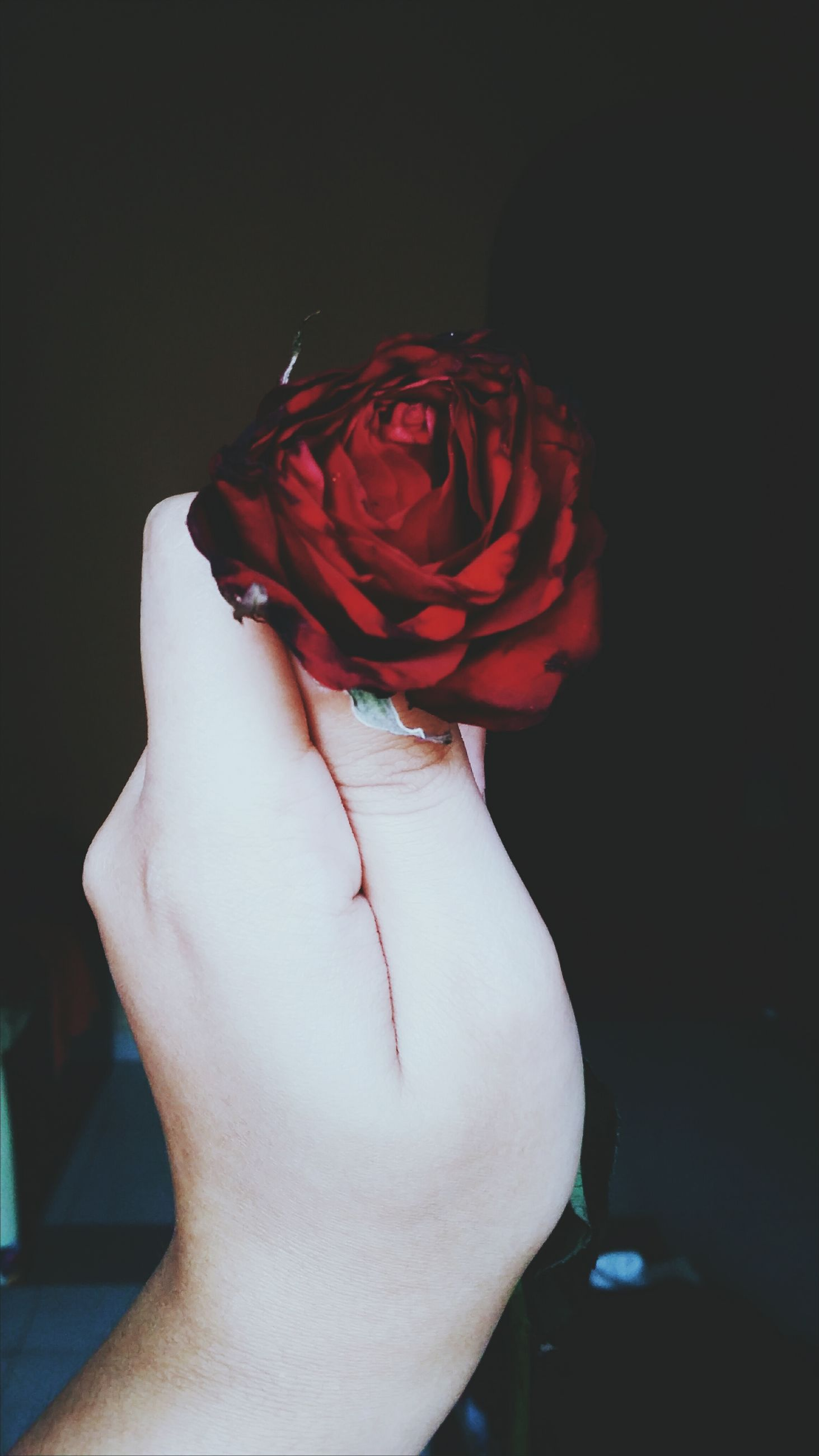 red, rose - flower, flower, studio shot, freshness, black background, rose, holding, flower head, one woman only, bunch of flowers, single flower, nature, petal, beauty in nature, person, softness, fragility, bloom