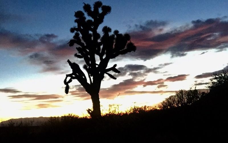 Sunset Sky Nature Beauty In Nature Silhouette Growth Cloud - Sky Scenics Tranquil Scene Tree Tranquility Outdoors No People Landscape Day Joshua Tree Silhouettes Nevada Desert Travel Photography Phone Photography Nevada Skies