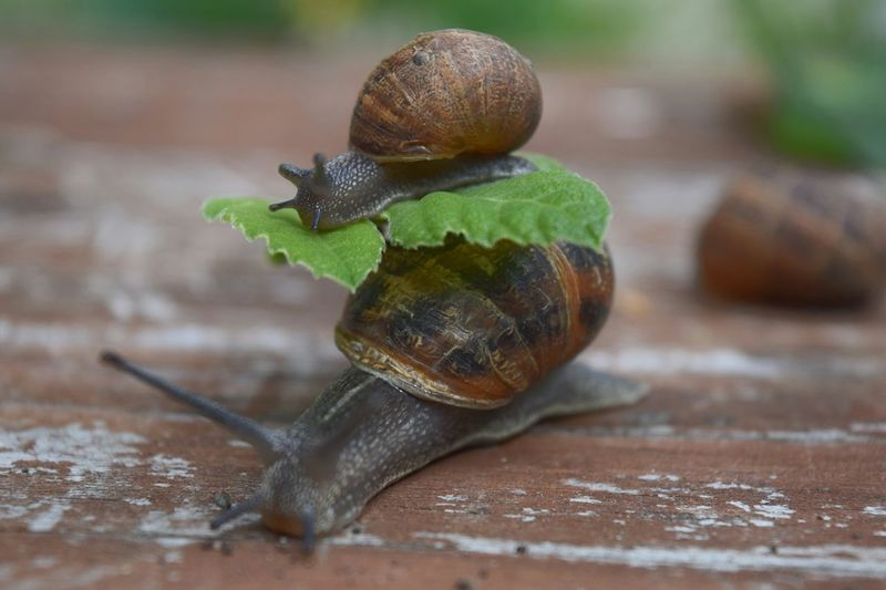 Escargots🐌 Snail ❤ Nature Beauty In Nature Escargot Coquille Feuilles Outdoors