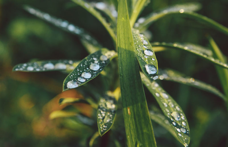 Beauty In Nature Close-up Day Dew Drop Droplet Focus On Foreground Fragility Freshness Garden Green Color Growth Leaf Nature No People Outdoors Plant Purity Rain Drops Season  Selective Focus Tranquility Water Water Drop Weather