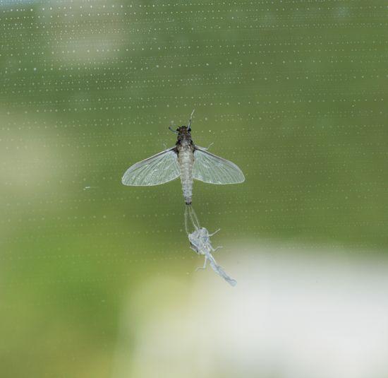 muta, cambio pelle Mayfly On Window Mayfly Muta Ecdisi Moulting Gnat Midge Close-up Insect Metamorphosis Effimera