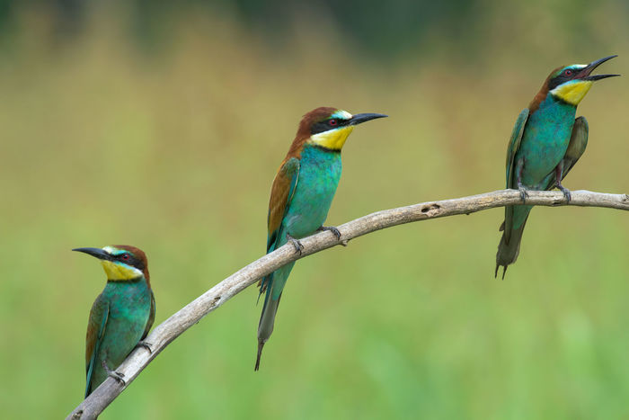 Animal Themes Avian Beauty In Nature Bee-eater Bird Blue Close-up Day Focus On Foreground Green Color Multi Colored Nature No People Outdoors Perching Selective Focus Wildlife