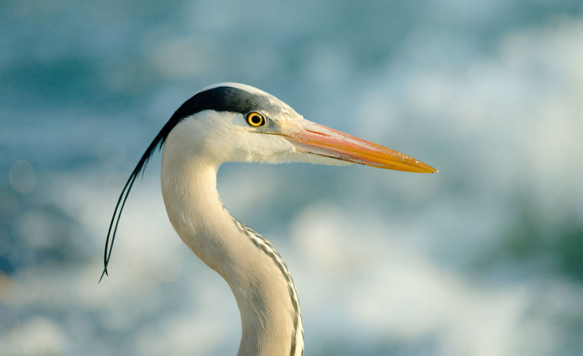 Animal Head  Animal Themes Animals In The Wild Beak Beauty In Nature Bird Close-up Day Focus On Foreground Heron Herons Looking Away Nature No People One Animal Outdoors Seagull Side View White Color Wildlife Zoology