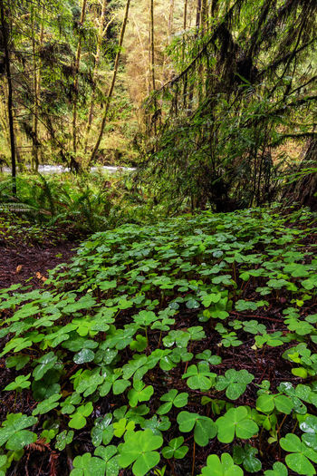 A view from Lost Man Creek, Orick, California. Nature Plant Plant Part Leaf Day No People Beauty In Nature Growth Tranquility Green Color Land Outdoors Leaves Creek Clover Forest Forest Photography Landscape Landscape_Collection California