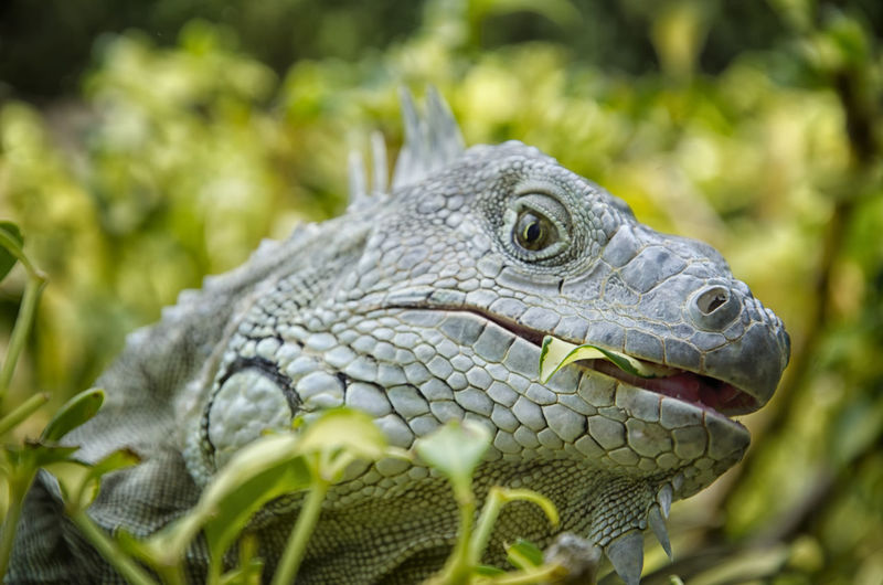 Another found photo from my last trip out to Puerto Rico. Scary looking fella having a nibble. I think he was as curious about me as I was of him! A Face Only A Monther Could Love Animal Themes Animal Wildlife Animals In The Wild Beauty In Nature Close-up Day Eating Iguana Iguana Mammal Nature Nikon D7000 No People One Animal Outdoors Puerto Rico Reptile Scales