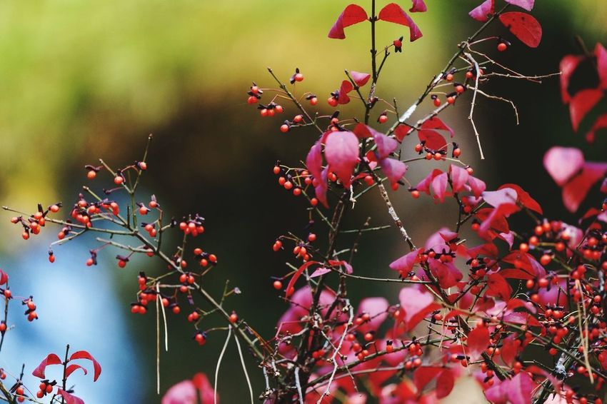 Nature Red Fruit Autumn Outdoors Plant Landscape Leaf No People Rural Scene Beauty In Nature Tree Day Branch Close-up Travel Destinations Scenics Defocused Food Healthy Eating The Week On EyeEm Autumn Travel Backgrounds Hsun