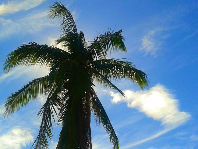 Palm Tree Nature_collection Eyeem Philippines Potpotography Trees