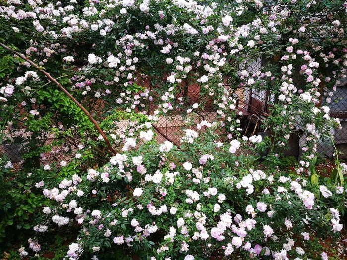 White Flowers Turkey Türkiye Adana Garden Photography Garden