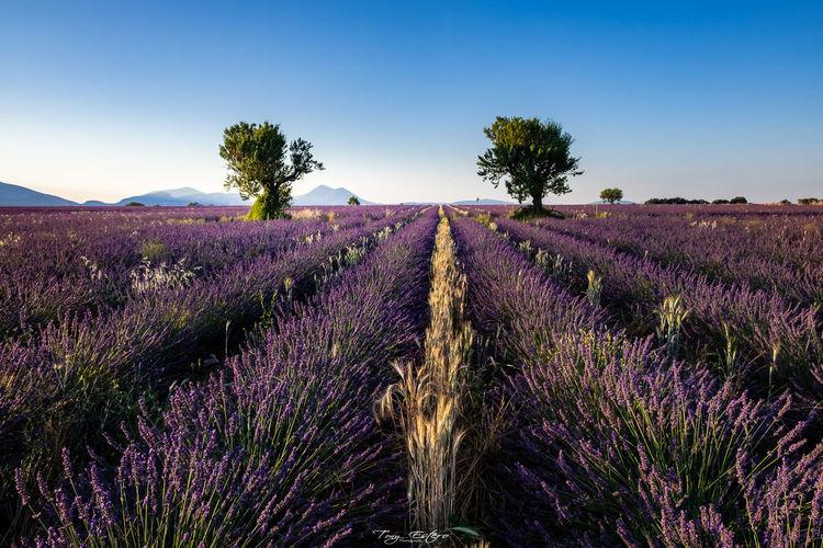 Scenic view of purple flowering plants on field against sky