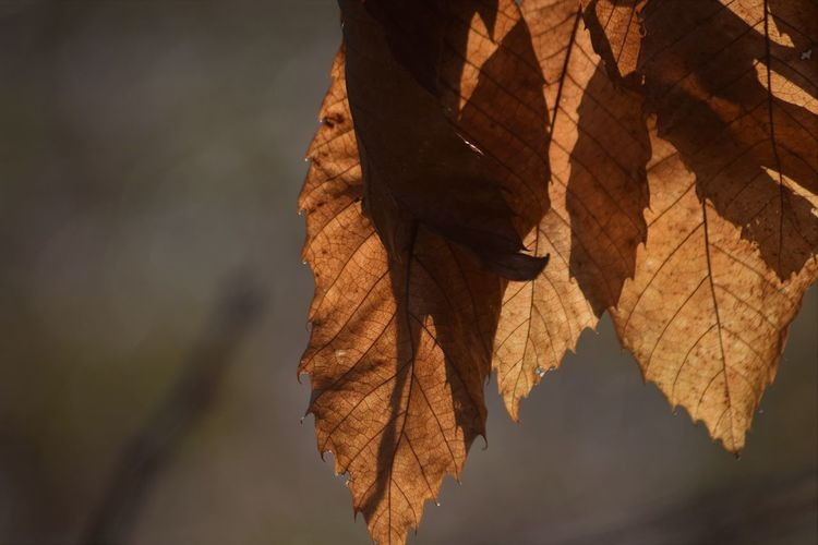 Autumn Beauty In Nature Brown Change Close-up Day Dry Focus On Foreground Leaf Maple Maple Leaf Nature No People Outdoors Sky