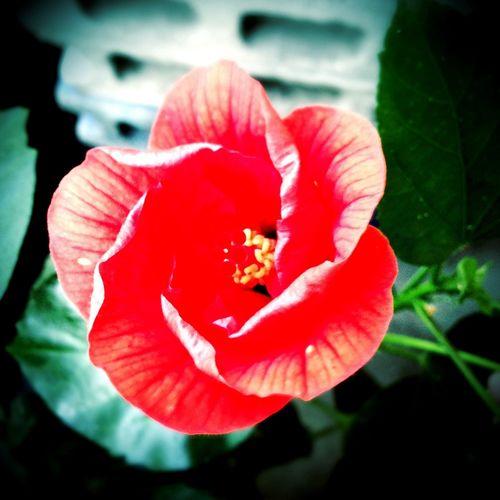 開花中 Hibiscus Orange Eye Em Nature Lover