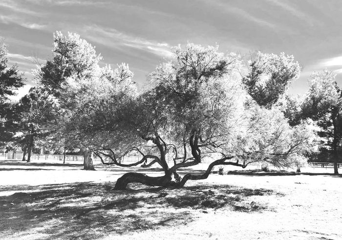 Black And White Friday Tree Nature Growth Branch Beauty In Nature Sunlight Day Tranquility Outdoors Winter No People Sky Scenics Shadow Snow Landscape