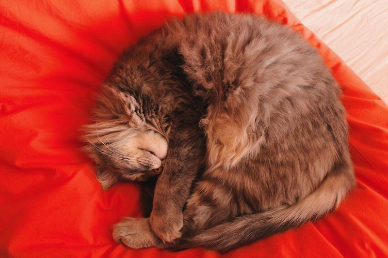 Matisse Animal Themes Animal Mammal One Animal Sleeping Domestic Domestic Animals Pets Relaxation High Angle View Resting Vertebrate Furniture Cat Feline Indoors  No People Bed Domestic Cat