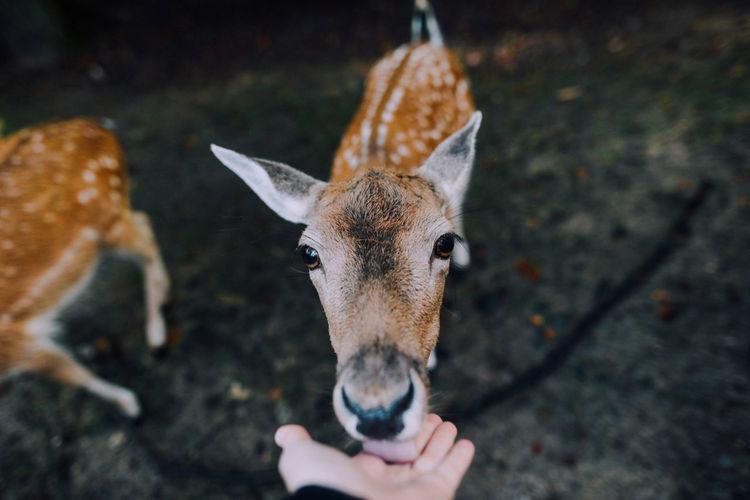 Deer Licking Human Hand