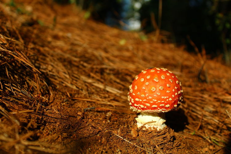 Close-up of fly agaric mushroom on field