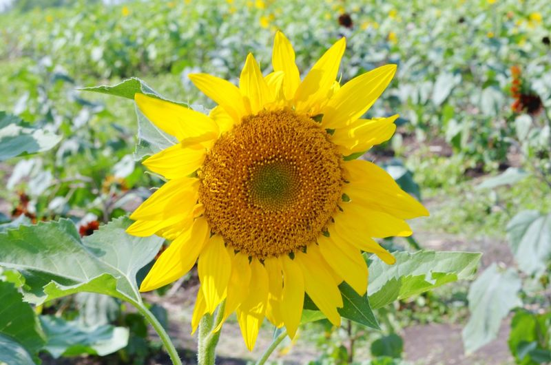 Flower Nature Yellow Plant Flower Head Fragility Beauty In Nature Outdoors Summer Day No People Beauty Leaf Sunflower Close-up Growth Freshness