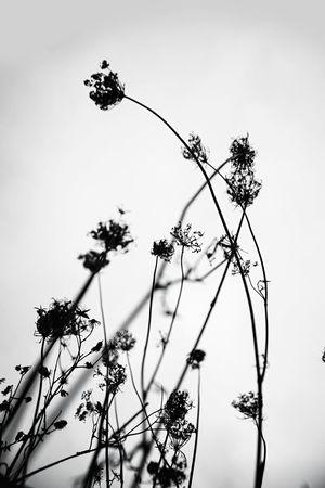 Plant Nature Growth Blackandwhite Light And Shadow Plant Flower Fragility Art Monochrome Filigran Flowers