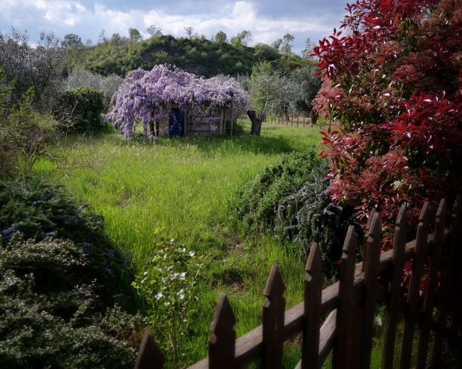 Landscape Italy Latium Olive Tree Wisteria Tree Flower Red Blossom Grass Sky Garden Botanical Spring Blossoming  Greenery Romantic Vegetation