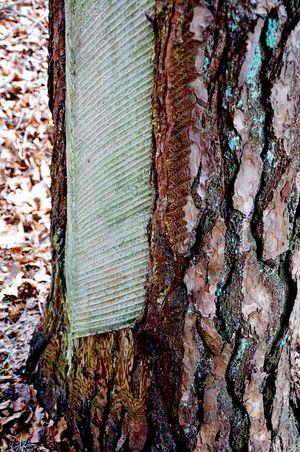 Baumharzgewinnung Kiefernstamm Harzfliessfugen No People Day Nature Textured  Close-up Wood - Material Outdoors