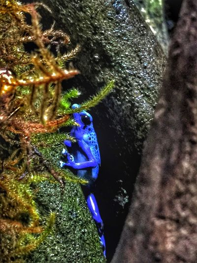 Poison Dart Frog Blue Poison Dart Frog Blue Frog Frog Froggy Frogs Amphibian Amphibian Photography Black And Blue Animal Photography Close-up Ready For My Close Up