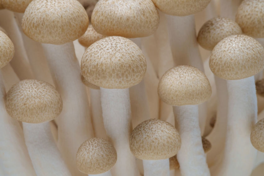 Agriculture Diet Growth Buna Shimeji Mushroom Close-up Day Food Freshness Full Frame Healthy Eating Indoors  Large Group Of Objects Macro Mushroom Mushroom Stalk No People Shimeji Mushrooms