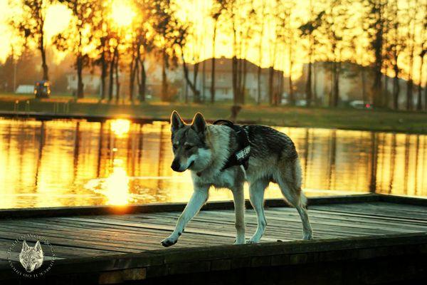 Wolfdogs Mypet BohunWolfdog Wolf Csv Czechoslovakianwolfdog Canelupocecoslovacco Wolfdog