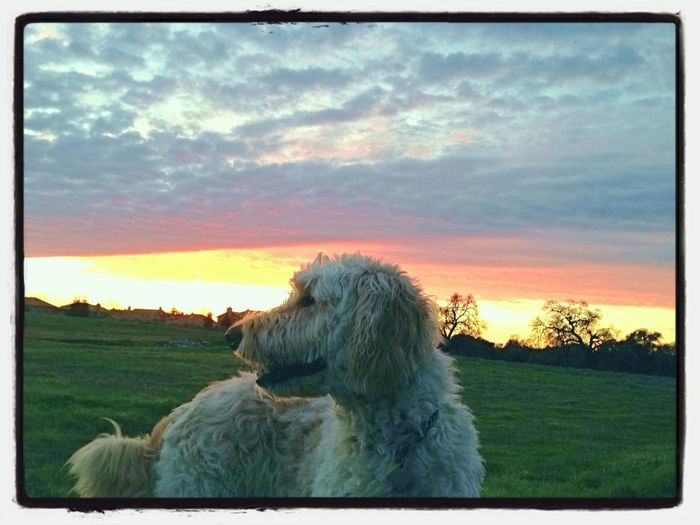 Bentley the Goldendoodle enjoying the sunset Dog Ilovemydog The Press - Treasure Goldendoodles