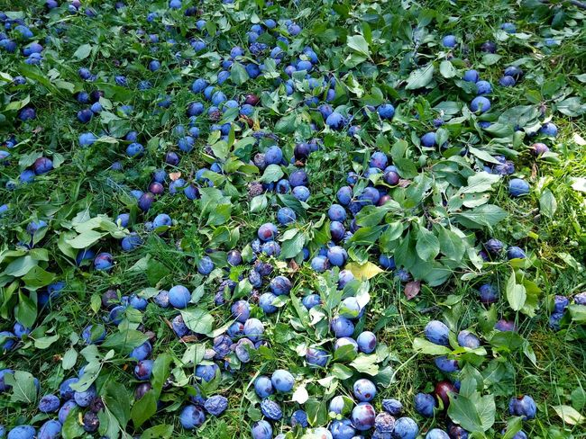 Backgrounds Full Frame Purple Nature Growth Large Group Of Objects Day Fragility Abundance Freshness Blue Plant Beauty In Nature Tranquility Vibrant Color Multi Colored No People Prunes