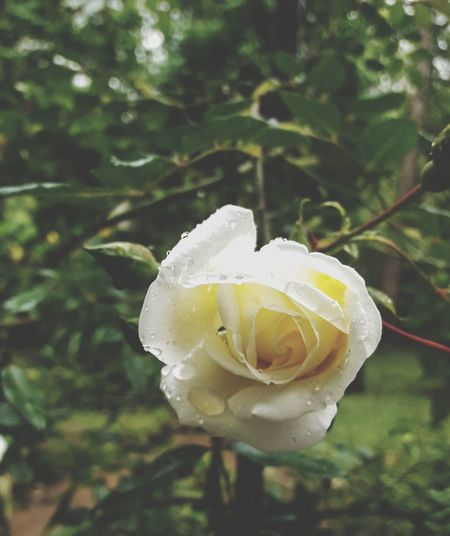 Flower Head Flower Rose - Flower Petal Close-up Plant