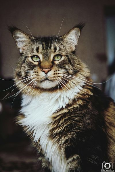 Кот Филип 😻 maincoon Domestic Cat Pets Portrait Looking At Camera One Animal Animal Themes No People Midifoto Fuji Fujifilm VSCO Photographer фотограф Beautiful Teamfuji Vscocam Russia Fujifim Россия альметьевск Mainecoon Maincooncat