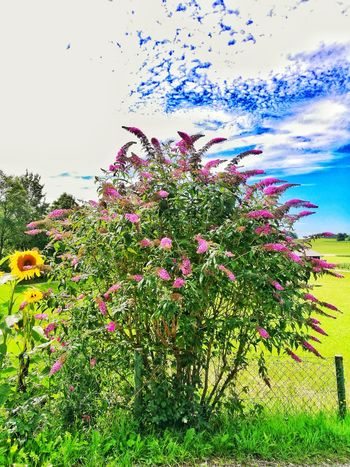 Nature Flower Growth No People Plant Beauty In Nature Outdoors Day Sky Freshness Sunflower Lilac Bush