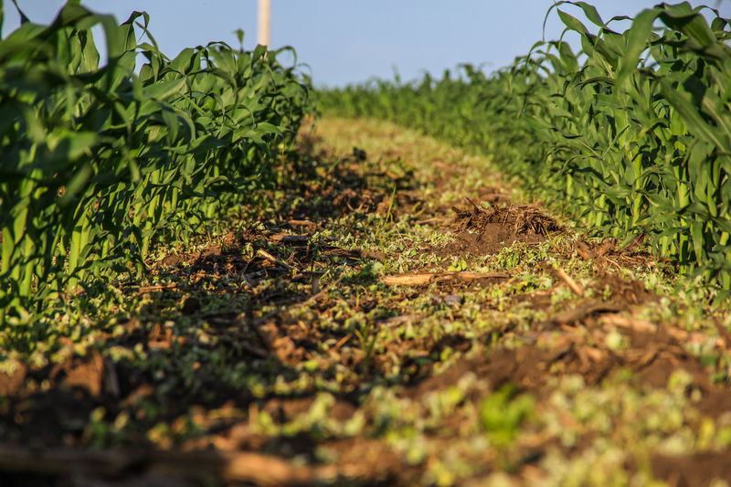 Corn Field Agriculture Canon60d Canonphotography Corn Crop  Farm Field Green Growth Plant Rows Soil Summer Weedy