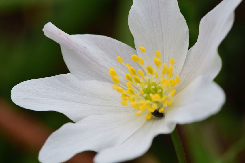 Check This Out EyeEm Best Shots EyeEm Nature Lover Freshness Growth Macro Photography Nature Wood Anemone Beauty In Nature Blooming Close-up Day Flower Flower Head Flowers Focus On Foreground Fragility Macro Nature_collection No People Outdoors Selective Focus Spring Flowers Springtime White Flower