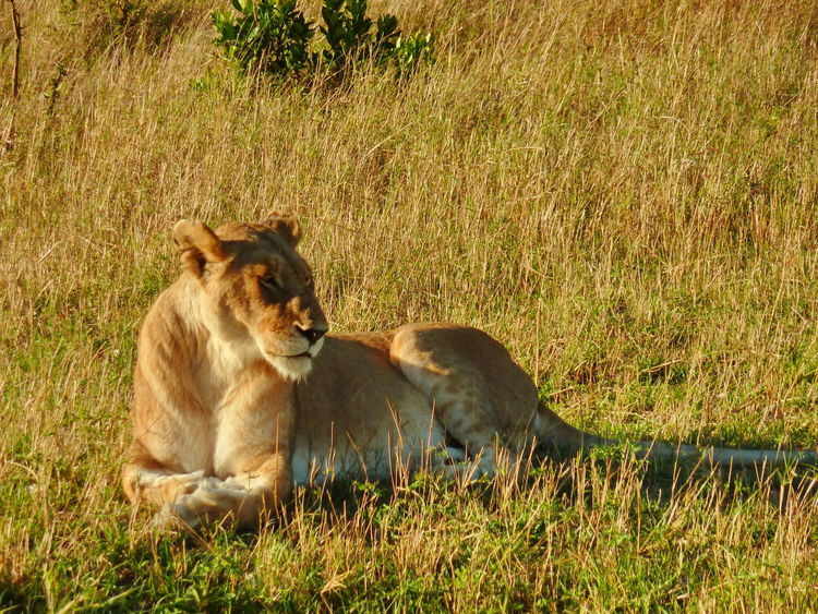 43 Golden Moments Animal Animal Themes Animals In The Wild Brown Day EyeEm Animal Lover Field Focus On Foreground Grass Grassy Growth Kenya Lion Mammal Masaai Mara Nature No People Outdoors Plant Relaxation Resting Resting Time Sunset Colours Young Animal