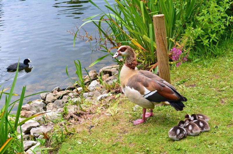 Goslings Pond