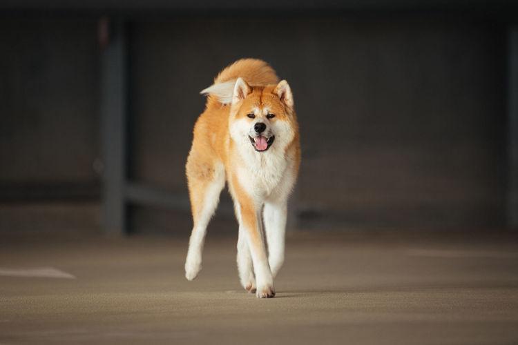 Portrait of dog running on street