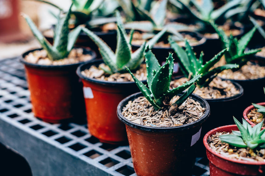 Cactus Copy Space Gardening Green Color Life Succulents Arranged Backgrounds Close-up Contrast Greenhouse Growth Hobby Leaf Low Maintenance Matte Medicinal Nature Outdoors Plant Plant Care Potted Plant Selective Focus Table Thorn