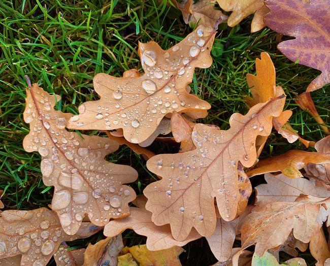 High angle view of raindrops on maple leaves during rainy season