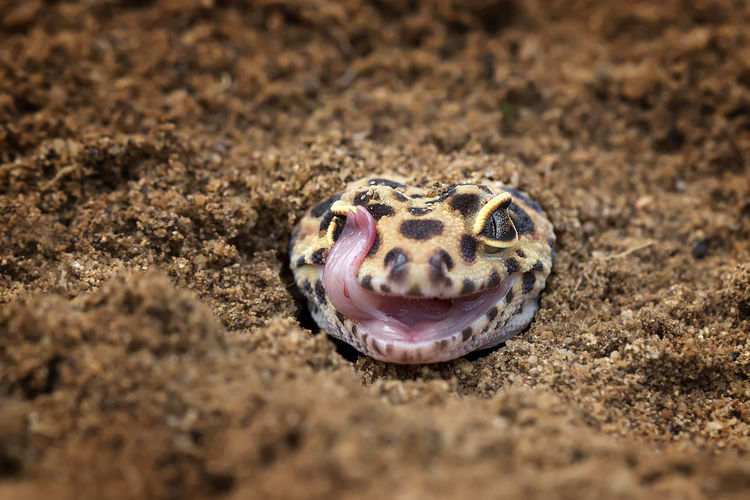 Close-up portrait of gecko sticking out tongue in sand