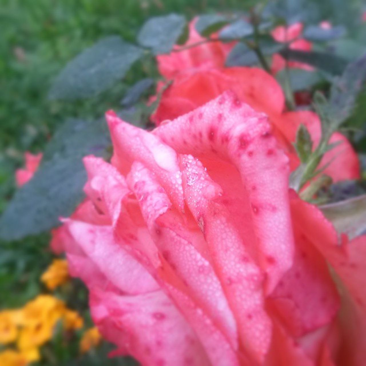 flower, petal, beauty in nature, nature, pink color, growth, fragility, drop, plant, flower head, freshness, water, no people, close-up, wet, rose - flower, outdoors, raindrop, day, blooming