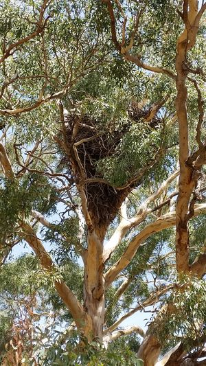 Eagle's nest in Eucalyptus Tree. The Great Outdoors - 2017 EyeEm Awards Eagle's Nest No Filter No Edit Australian Photographers Eucalyptus Tree Wedgetailedeagle Exceptional Photographs Australian Landscape Eucalyptus Trees EyeEm Nature Lover Australia Wedge Tail Eagle Art Is Everywhere Focus On Beauty Beauty In Nature Nature Photography Eye4photography  Natural Light Full Frame EyeEm Masterclass Farm Life Malephotographerofthemonth