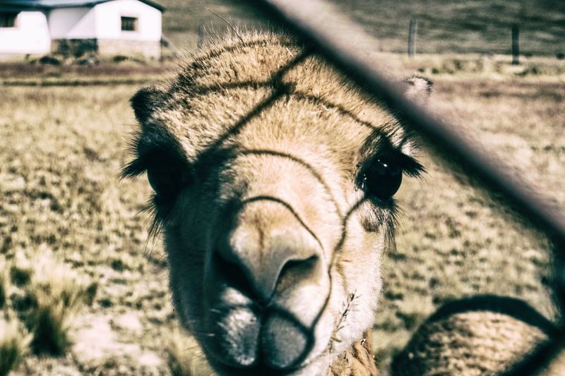 Vicuña with