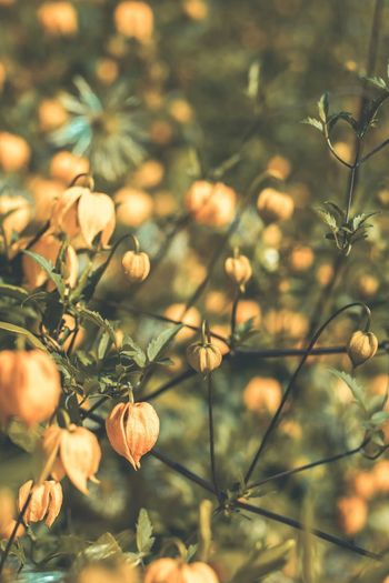 Pumpkin like flowers, dainty and autumn-esque! 🍂🎃 Nature Outdoors Plant Beauty In Nature Freshness Close-up Photography Check This Out Autumn Colours Hipster Scenics No People England Detail Rural Scene