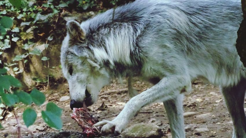 Animal Themes One Animal Domestic Animals Day No People Outdoors Eating Wolf