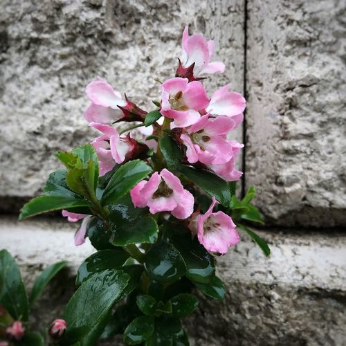 Beauty & texture... Spring 2017 Beauty In Nature Green Leaves Pink Flowers Textured Wall New Growth Flower Photography Flower Photography Springtime Blooming